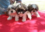 3 Shih Tzu Puppies for Sale